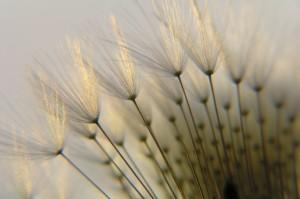 dandelion seed in twilight